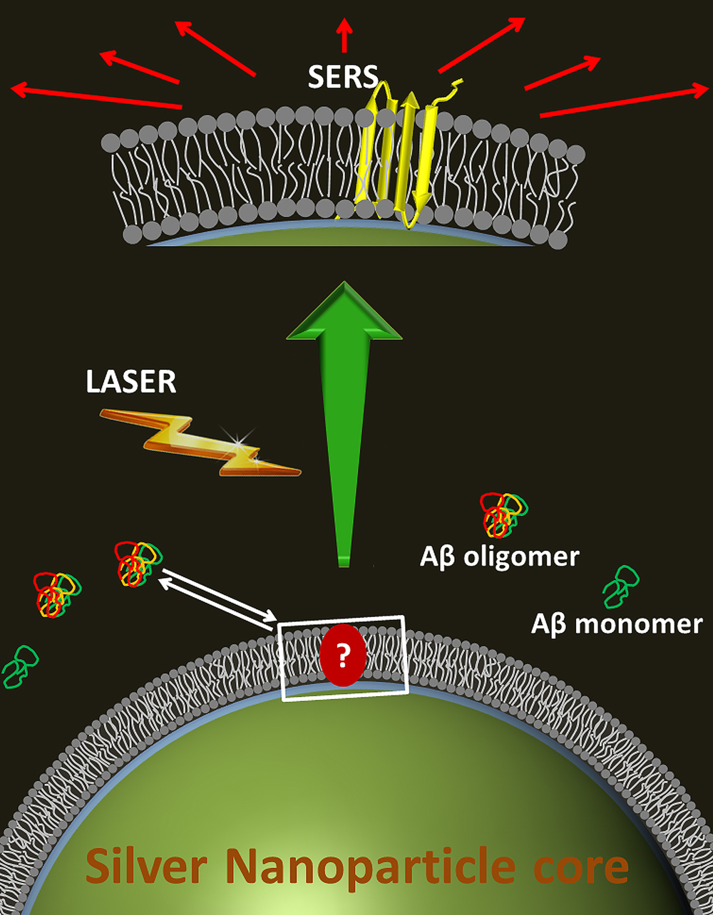 Toxic Alzheimer�s amyloid beta molecules landing on a fake cell membrane, wrapped around a silver nanoparticle. A laser, with help from the silver particle, lights up the molecule to reveal its structure.